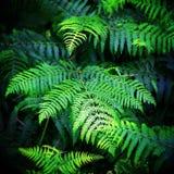 ferns Imagem de Stock Royalty Free