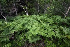 Ferns of Acadia National Park, Maine. royalty free stock photography