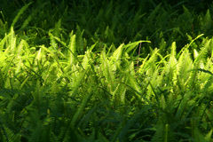 Ferns in the afternoon light Stock Images