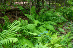 Ferns alone the Wilmington Flume Trail Stock Photography