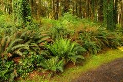 Ferns along a coastal forest trail Stock Photos
