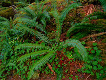 Ferns Along the Trail. Ferns beside the hiking trail at House Rock Campground - near Upper Soda - OR stock image
