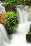 Ferns Amidst the Flow. Black maidenhair fern perched on a rock in a small creek Royalty Free Stock Images