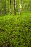 Ferns & floresta, área cor-de-rosa das camas, Pisgah N-F, NC Foto de Stock