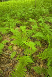 Ferns & floresta, área cor-de-rosa das camas, Pisgah N-F, NC fotografia de stock royalty free