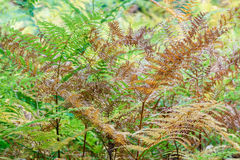 Ferns in autumn. Stock Photography