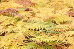 Ferns in autumn. Stock Image