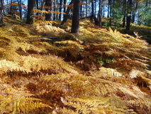 Ferns in the autumn forest Stock Photography