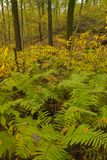 Ferns in autumn forest. Royalty Free Stock Photography
