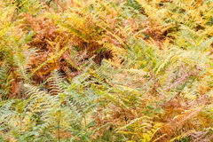 Ferns in autumn. Royalty Free Stock Images