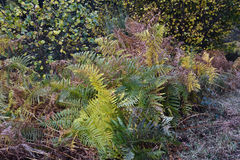 Ferns in autumn. In autumn, many plants change color or appearance. Sencillamnete Some die, others lose their leaves. In the picture with different colors and Stock Images