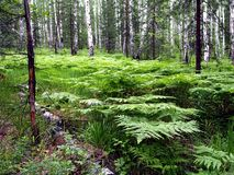 Ferns in the birch forest royalty free stock images