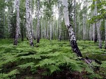 Ferns in the birch forest royalty free stock photos
