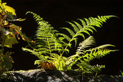 Ferns On Black Background. Ferns in a natural woodland setting on a black background stock photos