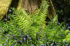 Ferns and bluebells at the base of a tree Stock Images