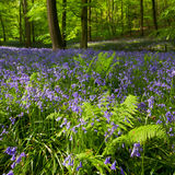 Ferns and bluebells in spring woods Stock Images