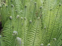 Free Ferns - Botanical Garden Vienna Stock Photos - 39343063