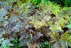 Ferns in brown and green colors Royalty Free Stock Image