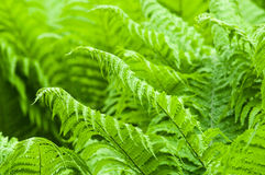 Ferns bush foliage closeup Royalty Free Stock Images
