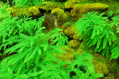 Ferns in butchart gardens. Fresh ferns in the japanese garden inside the historic butchart gardens (over 100 years in bloom), vancouver island, british columbia stock photography