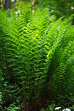 Ferns closeup in the forest Stock Images