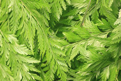 Ferns leaves green foliage tropical background. Rain forest Stock Photo