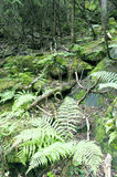 Ferns cover the forest floor. Stock Image