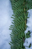 Ferns covered with snow Stock Photography