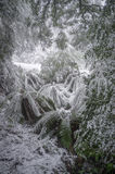 Ferns covered in snow, Victoria, Australia Royalty Free Stock Photography