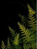 Ferns on dark background Stock Photos