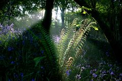 Ferns in dawn sunlight Meldon Stock Photo