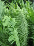 Ferns at dusk. Summer ferns at dusk stock image