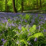 Ferns e bluebells em madeiras da mola Imagens de Stock