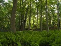 Ferns e floresta foto de stock