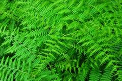 Ferns em jardins do butchart Imagens de Stock