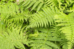 Ferns Royalty Free Stock Photos
