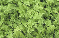 Ferns. First appear in the fossil record 360 million years ago in the Devonian Era[5] but many of the current families and species did not appear until roughly stock images