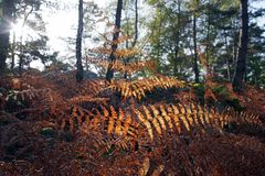 Ferns in Fontainebleau forest undergrowth Stock Images