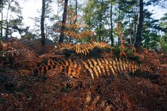 Ferns in Fontainebleau forest undergrowth Stock Image