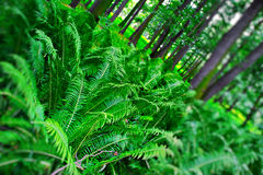 Ferns in forest Royalty Free Stock Photography