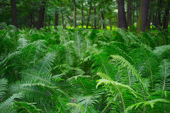 Ferns in forest Royalty Free Stock Images