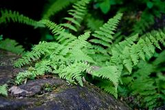 Ferns on Forest Floor Royalty Free Stock Image