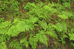 Ferns on the Forest Floor. Along the Appalachian Trail in the Great Smoky Mountains National Park in North Carolina royalty free stock image