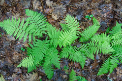 Ferns on forest floor Stock Photography