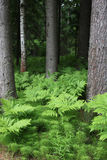 Ferns in forest Stock Photography
