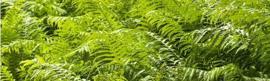 Ferns in the forest Royalty Free Stock Photo