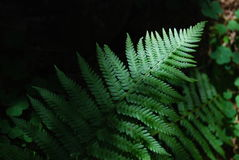 Ferns in a Forest Royalty Free Stock Photography