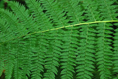 Ferns in a Forest Royalty Free Stock Photo
