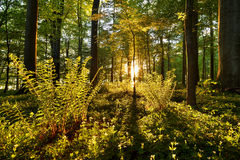 Ferns. In the forest with sunlight through the trees that illuminates Stock Image