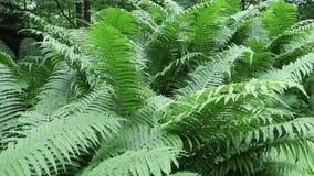 Ferns. Fresh green fern leaves in spring stock footage
